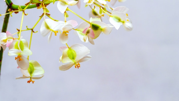 明るい背景にベゴニアの白い繊細な花