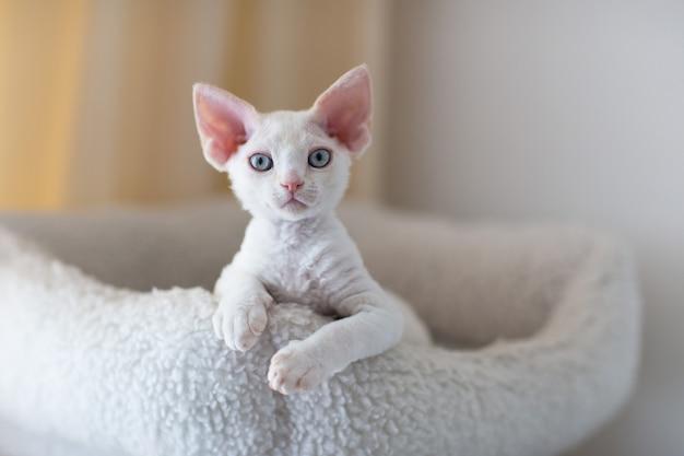 白いデボンレックスの子猫はベッドにあります