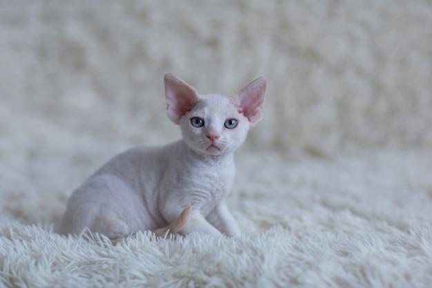 毛布の上に座っている白いデボンレックスの子猫