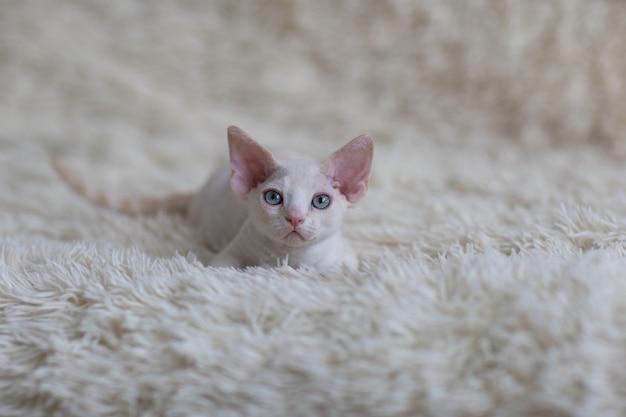 白いデボンレックスキティは毛布の上にあり、正面に見える