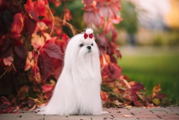가 숲에서 흰 개 품종 몰타어 lapdog