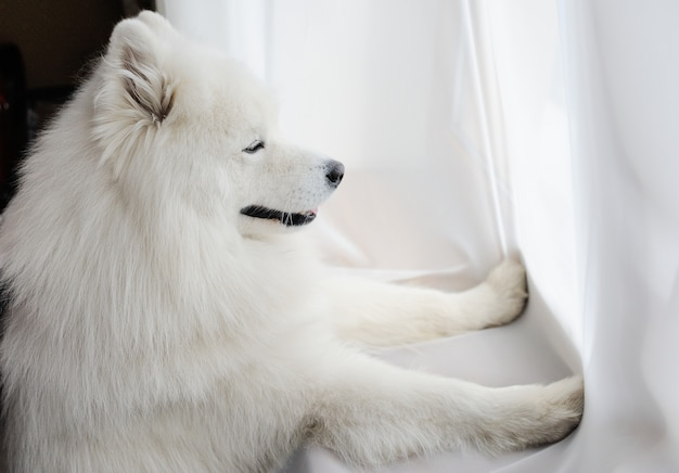 White dog breed samoyed looks out the window