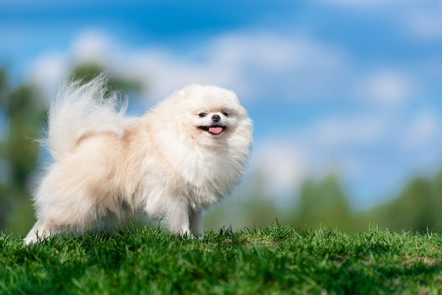 White dog breed spitz on green grass on blue cloud sky.