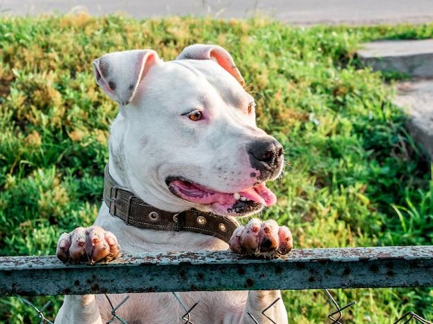 Белая собака породы питбуль стоит на задних лапах и смотрит через забор_