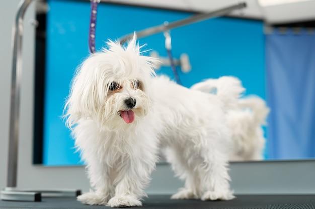 Белая собака стрижка в парикмахерской.