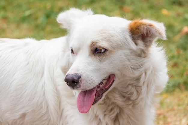 振り返る白い犬、犬の肖像画のクローズアップ_