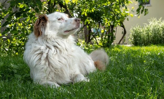 Белая собака, лежащая на траве