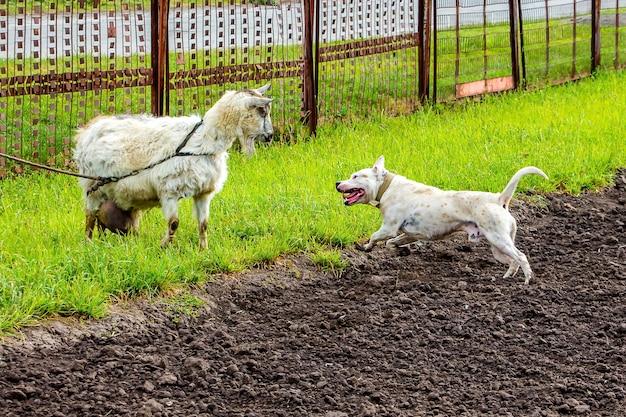 牧草地の白い犬のピットブルとヤギ。訓練を受けた犬がヤギを守る_