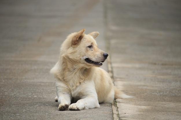 White dog relaxing on street