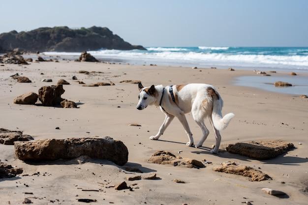 青い空と日光の下で海に囲まれたビーチを走る白い犬