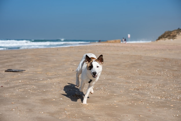 White dog running through a beach surrounded by the sea under a blue sky and sunlight