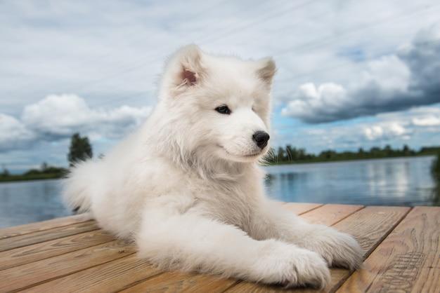 晴れた日に白い犬サモエド子犬が水の近くを歩く