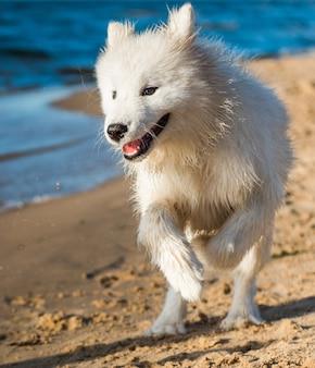 バルト海の海岸の水の近くを歩く白い犬サモエド子犬