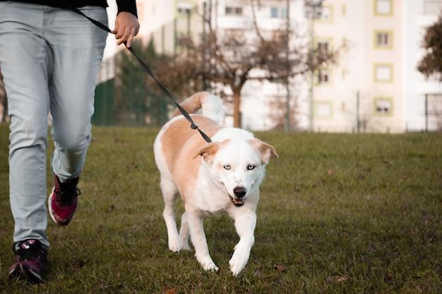 人間と歩く白い犬