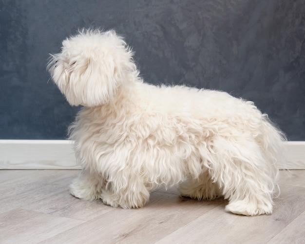 Белая собака с большим количеством шерсти перед уходом к грумеру.