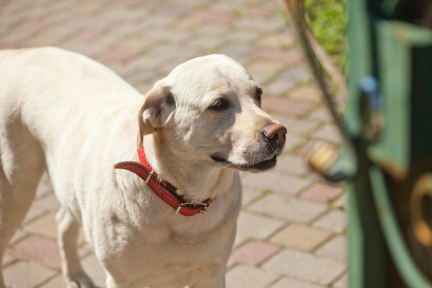 White dog with red collar stands outside