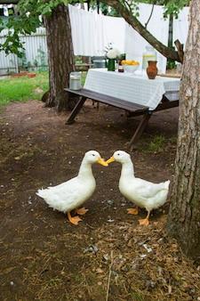 Белые домашние утки во дворе сельского дома