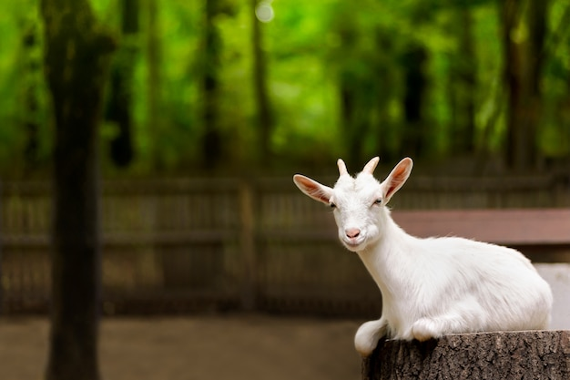 White domestic goat on the farm