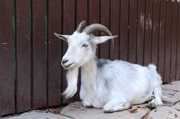 白い国産ヤギが村の柵のそばにあります