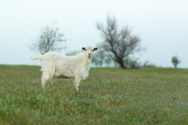 Белая домашняя коза на ферме на зеленой лужайке на закате. домашняя ферма.