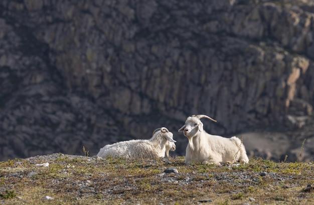 白い国産ヤギが山を背景に岩の上で休んでいます。
