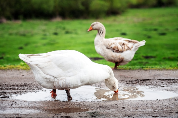White domestic goose drinking water. the concept is a poultry fa