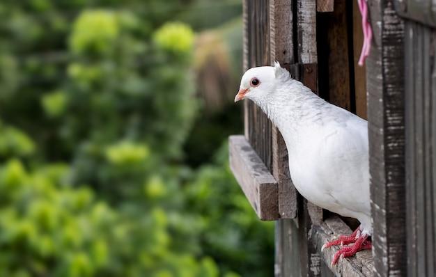 다락방 문에 서 있는 흰색 국내 비둘기, 흐릿한 배경으로 비둘기 얼굴을 닫습니다