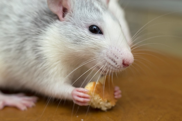 White domestic rat eating bread. pet animal at home.