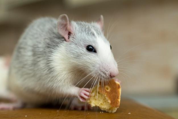Белая домашняя крыса ест хлеб