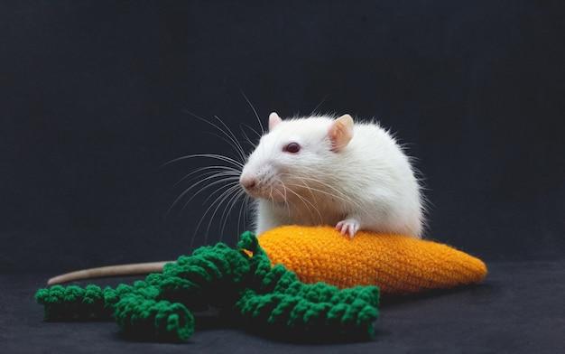 주황색 당근과 흰 국내 쥐