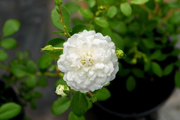 緑の葉を背景に白い二重バラの花