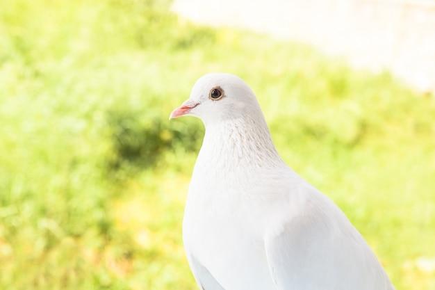 White dove closeup.