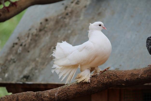 Белый голубь на темном фоне