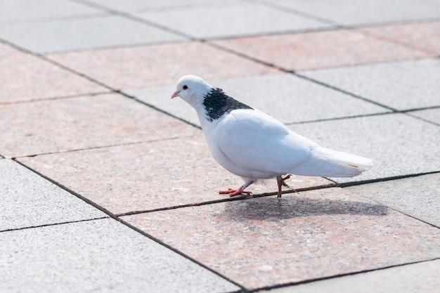公園のタイルに白い鳩。餌を探している小さな鳩。