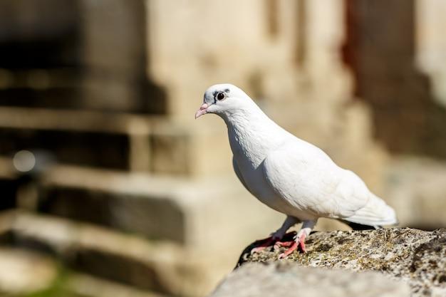 야외 여름 시간에 돌에 흰 비둘기