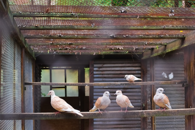 White dove sitting on branch in zoo. pigeons in a cage