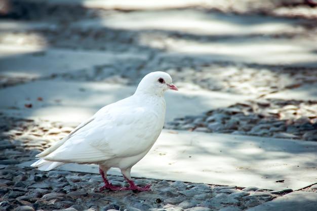 도시 거리에 서있는 흰색 비둘기