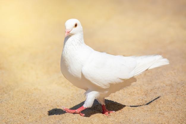 Белый голубь гуляет по песку на пляже в солнечный день.
