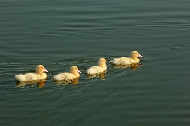 白いアヒルと湖で泳ぐ赤ちゃんアヒル Premium写真