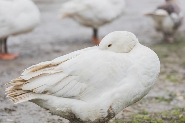 흰 오리 청소 깃털