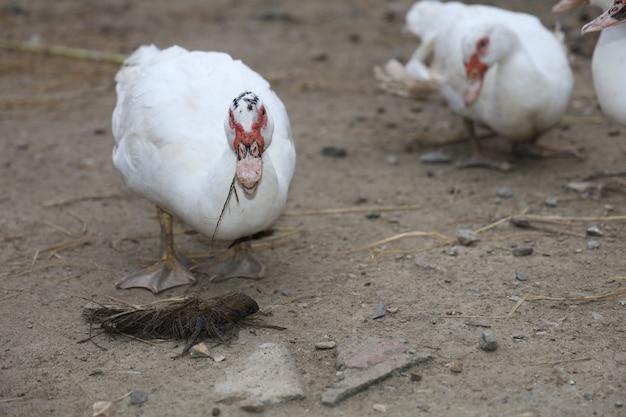 Белая утка остается в саду