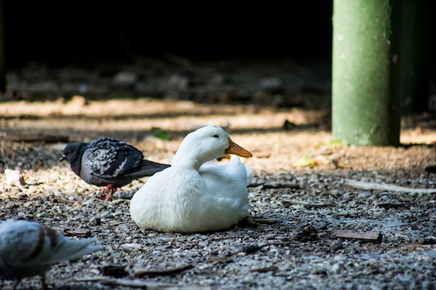 White duck lying on the ground in the shade