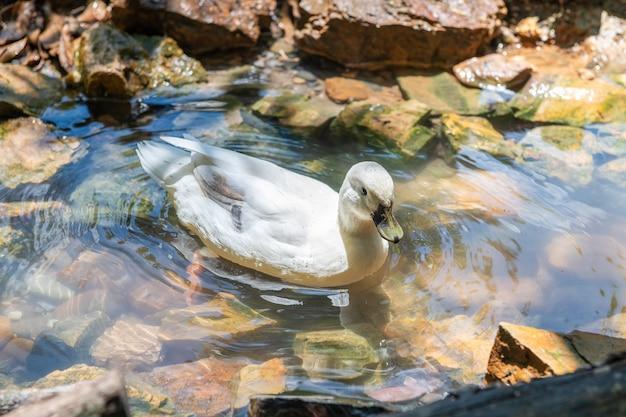 Белая утка плавает в пруду, концепция животных