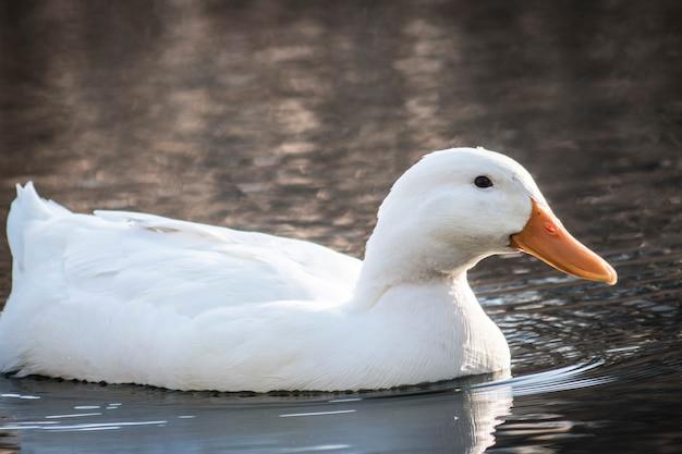 白いアヒルは池で泳ぐクローズアップ
