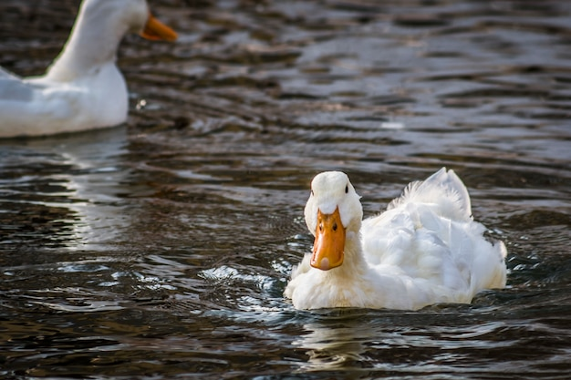 White duck swims in a pond, close-up