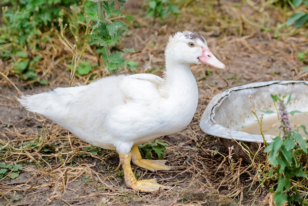 White duck in the village in the yard