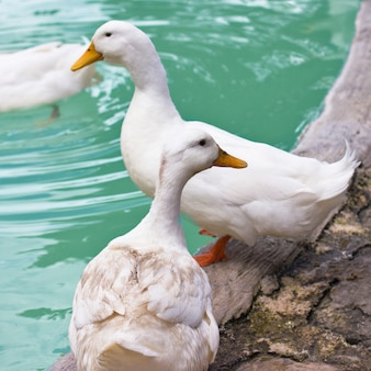 White ducks and geese on the shore of a blue pond