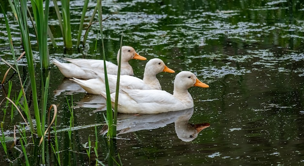 White ducks swimming in a pond