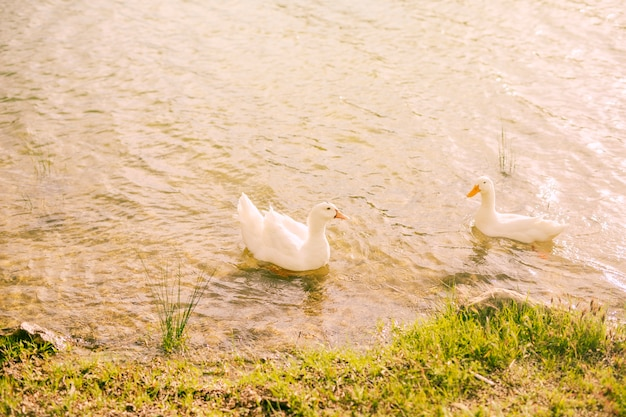 White ducks swimming in water near shore