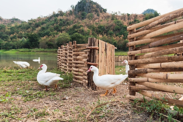White ducks walking out of wooden stall